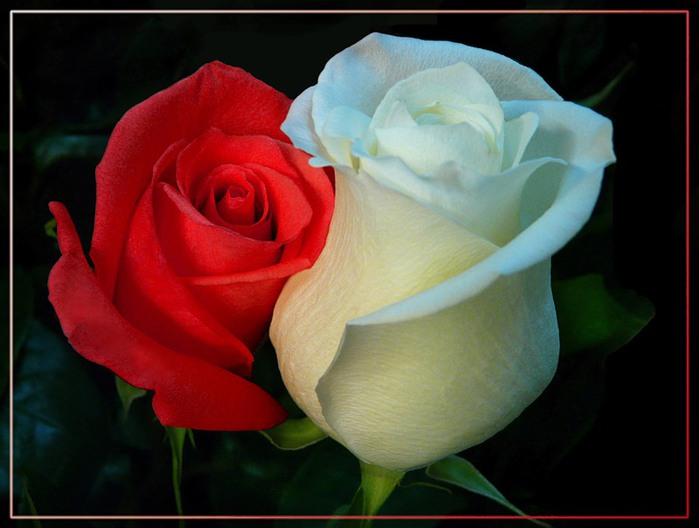 Розы16