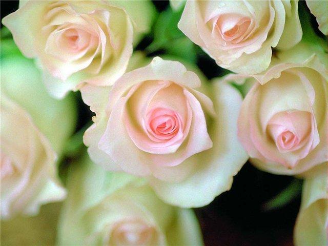 розы186