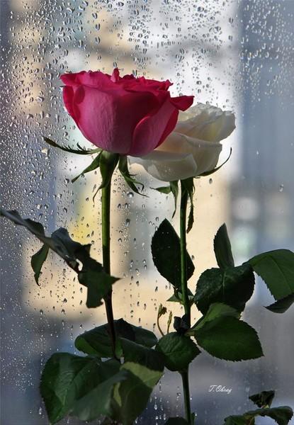 розы018