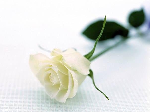 розы 668