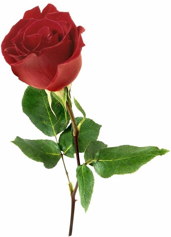 розы 1414